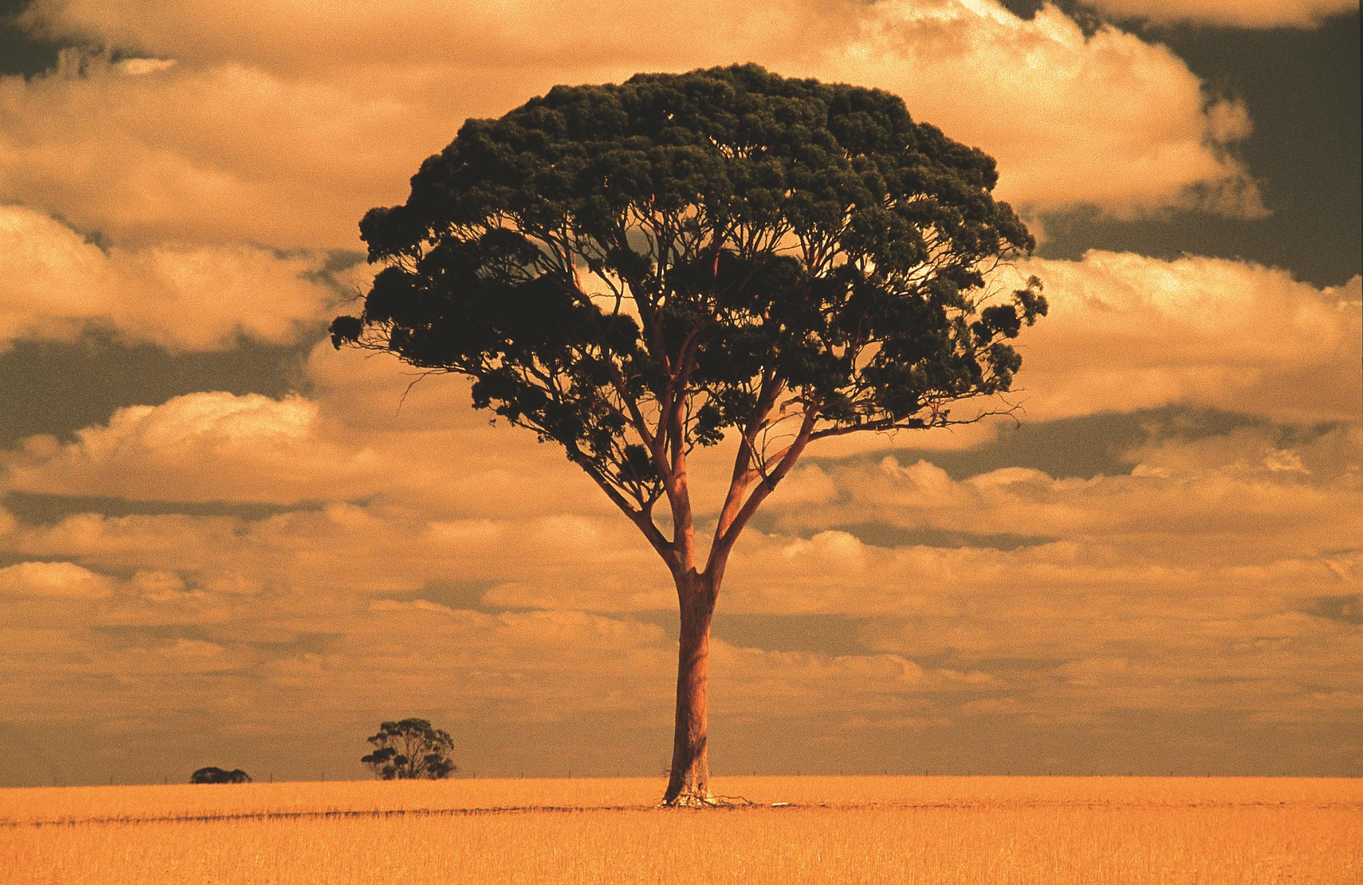 Beautiful tree in wheatfield